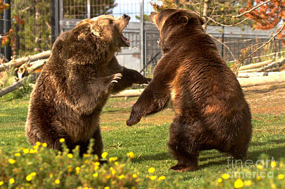 Photograph - The Grizzly Brawl Closeup by Adam Jewell