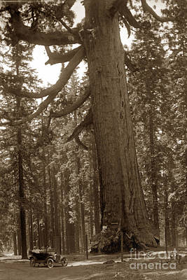 Photograph - The Grizzly Giant Is A Giant Sequoia In Mariposa Grove Is In Yosemite Circa 1916 by California Views Mr Pat Hathaway Archives