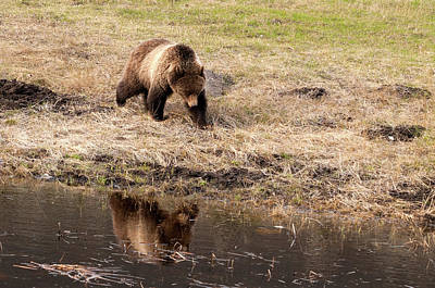 Photograph - The Grizzly In The Mirror by Steve Stuller