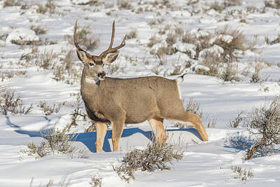 Photograph - The Gtnp Mule Deer Buck by Yeates Photography