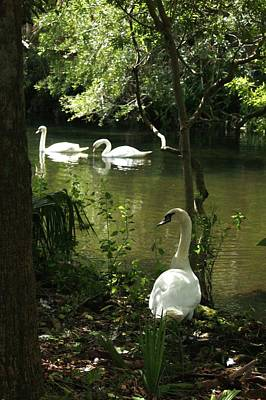 Photograph - The Guard Swan by Barbara Smith-Baker