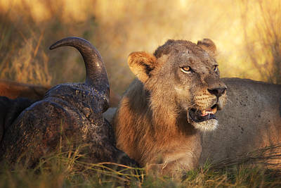 Lion Photograph - The Guardian by Mario Moreno