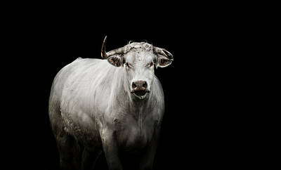 Cattle Photograph - The Guardian by Paul Neville