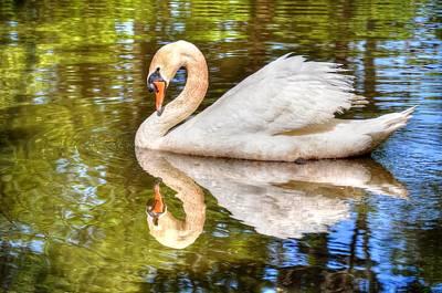 The Hammy Swan Art Print by Ronda Ryan