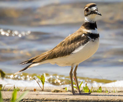 Photograph - The Handsome Killdeer by Ricky L Jones