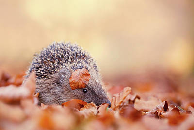 Hedgehog Wall Art - Photograph - The Happy Hedgehog II by Roeselien Raimond