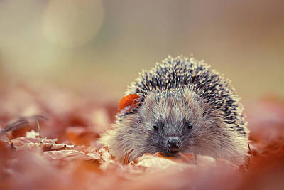 Hedgehog Wall Art - Photograph - The Happy Hedgehog by Roeselien Raimond