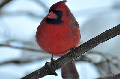 Photograph - The Haughty Cardinal by Healing Woman