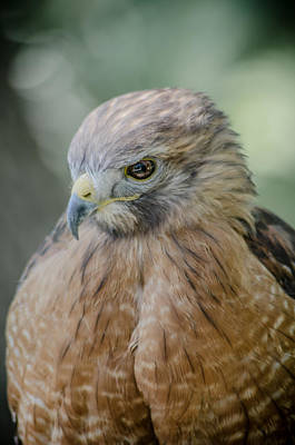 Photograph - The Hawk by David Collins