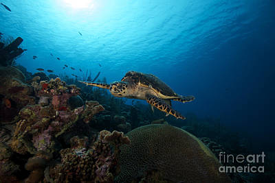 Undersea Photograph - The Hawksbill Sea Turtle, Bonaire by Terry Moore