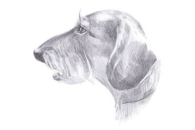 Dachshund Art Drawing - The Head Of The Dog - Haired Dachshund by Anastasiia Kononenko