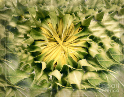 Photograph - the Heart of a Sunflower by Ella Kaye Dickey