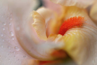 Photograph - The Heart Of A Yellow Iris by Francisco Gomez