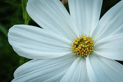 Photograph - The Heart Of The Daisy by Monte Stevens