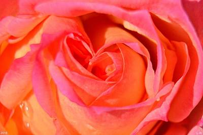 Photograph - The Heart Of The Rose by Lisa Wooten