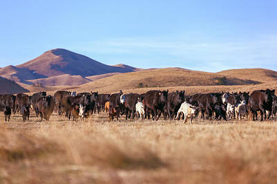 Cattle Drive Photograph - The Herd Races In by Todd Klassy