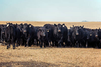 Angus Steer Photograph - The Herd Rushes In by Todd Klassy