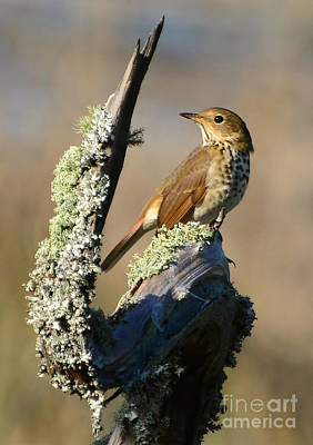Photograph - The Hermit Thrush by Kathy Baccari