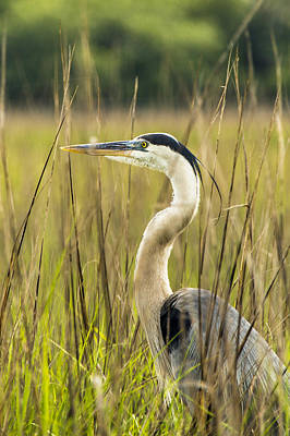 Photograph - The Heron In The Marsh by Paula Porterfield-Izzo