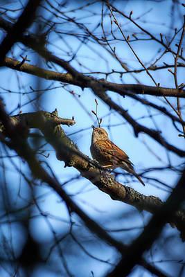 Photograph - The Hiding Singer. Dunnock by Jouko Lehto