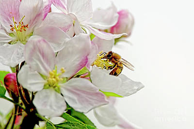 Photograph - The Honeybee And The Apple Blossom by Sharon Talson