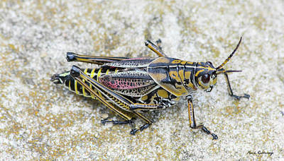 Grasshopper Photograph - The Hopper Grasshopper Art by Reid Callaway