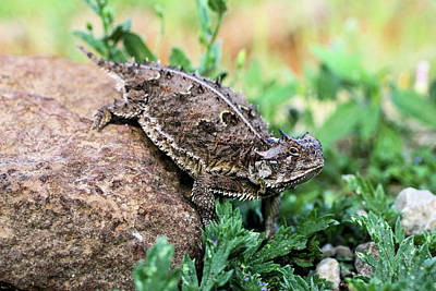 Photograph - The Horned Lizard by Kyle Findley