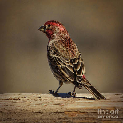 Photograph - The House Finch by Janice Rae Pariza
