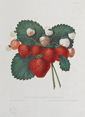 Strawberries Drawing - The Hovey's Seedling Strawberry by William Sharp