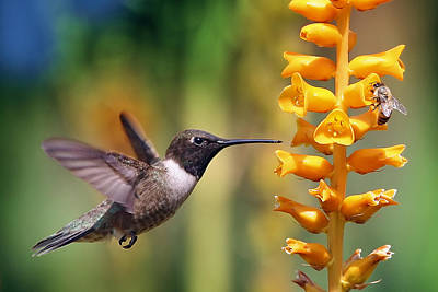 The Hummingbird And The Bee Art Print