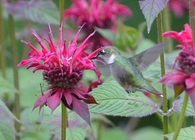 Stocktrek Images - The Hummingbird Leaf by Lena Hatch
