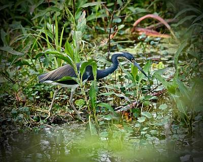 Photograph - The Hunting Heron by Carol Bradley