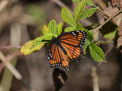 Photograph - The Imperfect Viceroy Butterfly by rd Erickson