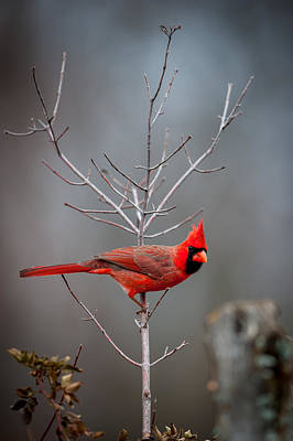 Photograph - The Inquiring Cardinal by Jeff Phillippi