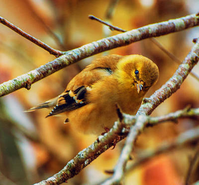 Photograph - The Inquisitive Goldfinch by John Harding