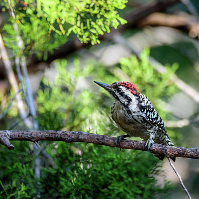 Photograph - The Intent Ladder-backed Woodpecker by Debra Martz