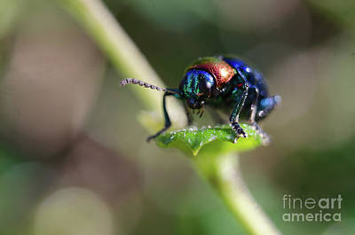 Photograph - The Iridescent Beetle by Michelle Meenawong