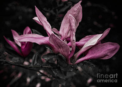 Photograph - The Japanese Magnolia Flower On Black by Janice Rae Pariza