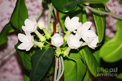 Photograph - The Jasmine Vine Bloomset by Donna L Munro