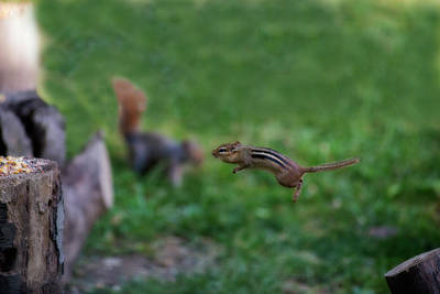 Photograph - The Jump Show Off To Squirrel by Dan Friend
