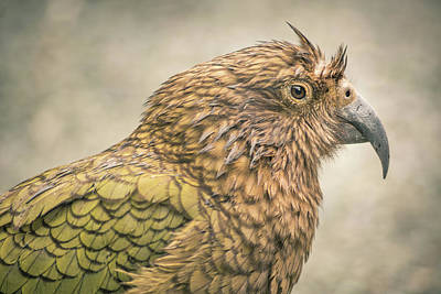 The Kea Art Print