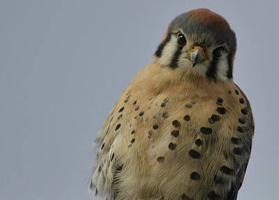 Photograph - The Kestrel by Rae Ann  M Garrett