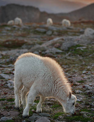 Rocky Mountain Goat Photograph - The Kids Table by Mike Berenson