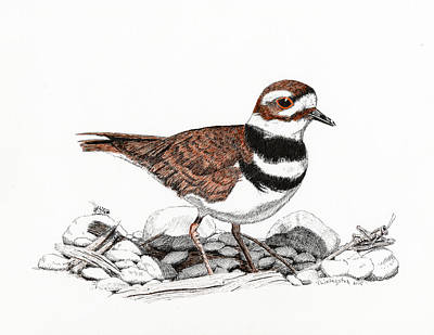 Killdeer Drawing - The Killdeer by Timothy Livingston