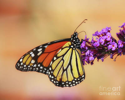 Photograph - The King Of Butterflies by Elizabeth Winter