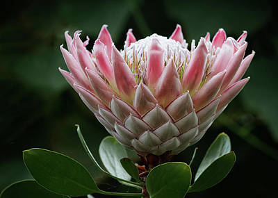 Photograph - The King Of Proteas by Shirley Mitchell