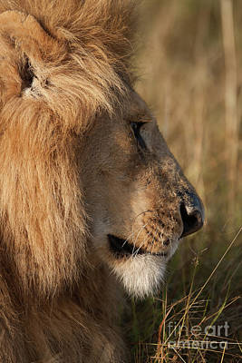 Lion Photograph - The King by Smart Aviation