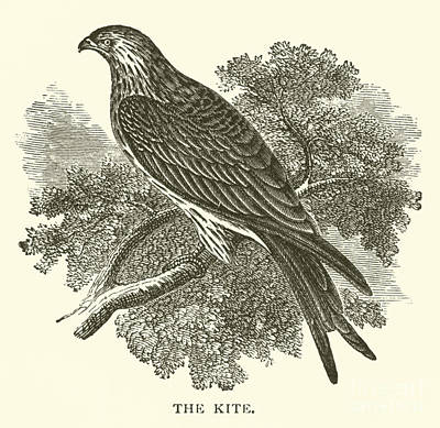 Hawk Drawing - The Kite by English School