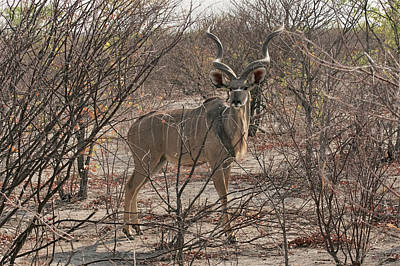 Photograph - The Kudu by Ernie Echols