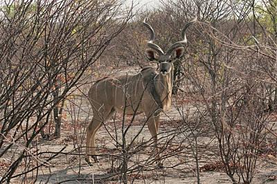 Photograph - The Kudu by Ernie Echols